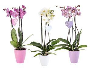 Phalaenopsis in Dekokeramik
