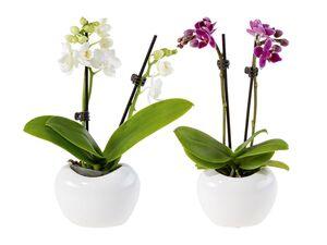 """Schmetterlingsorchidee """"Hearts"""""""
