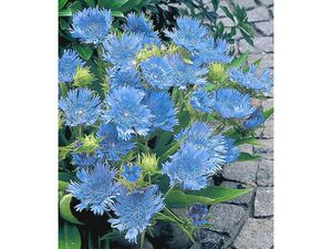 Stokesia Kornblumenaster 'Blue Danube', 2 Pflanzen