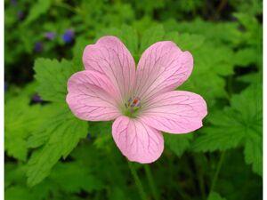 Storchenschnabel, 3 Pflanzen, rosa blühend