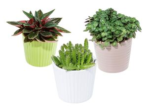 Mini-Grünpflanze in Keramik