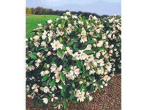 Duft-Magnolien-Hecke Fairy,1 Pflanze Michelia Fairy Magnolia® Heckenpflanze