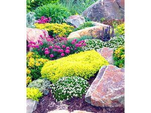 Steingarten-Mix Happy Flowers 4 Pflanzen Grasnelke Polstermoos und 2x Sedum