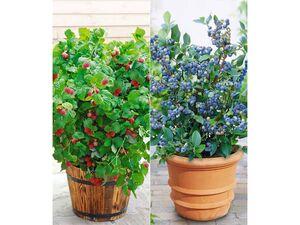 Topf-Heidelbeere 'Blue Parfait®' & Topf-Himbeere 'BonBonBerry® YUMMY', 2 Pflanzen