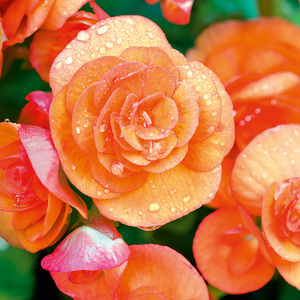 Finest Garden Begonien Knollen