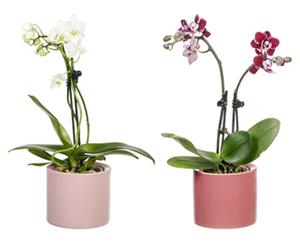GARDENLINE®  Mini-Orchidee im Topf