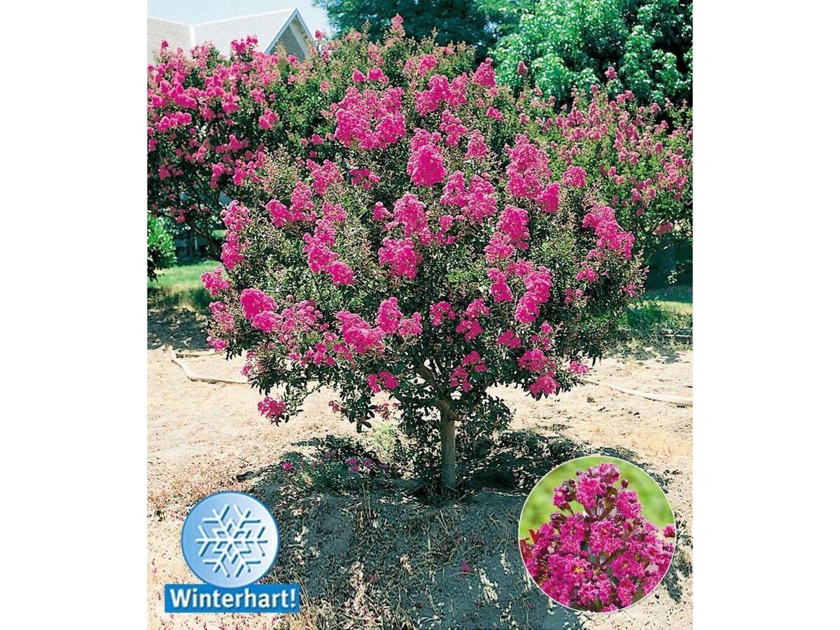 Bild 1 von Flieder des Südens, 1 Pflanze