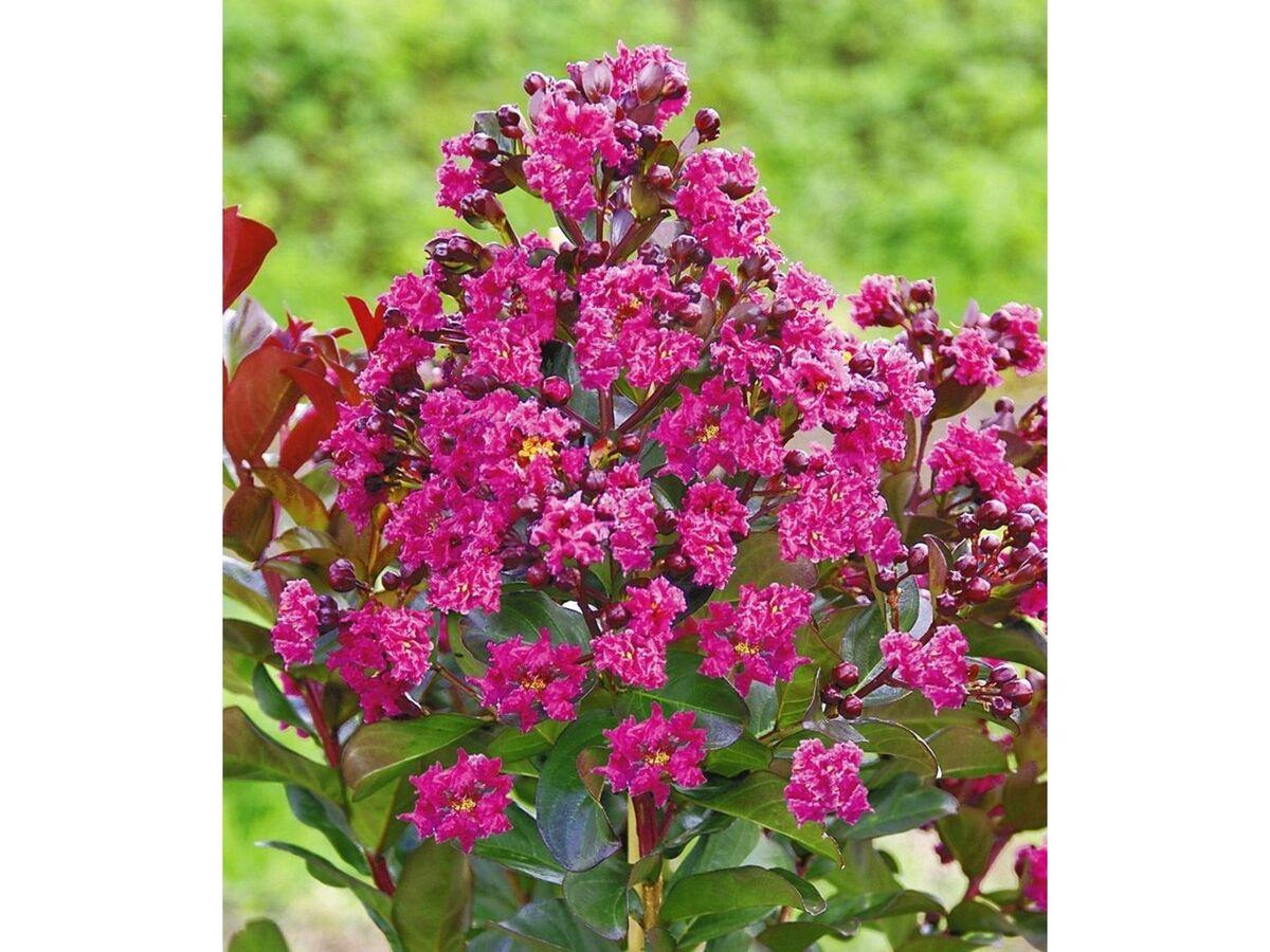 Bild 2 von Flieder des Südens, 1 Pflanze