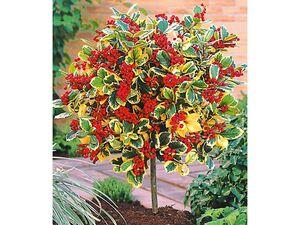 Ilex-Stämmchen 'Golden King', 1 Pflanze, Ilex x actaclerensis