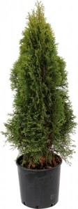 Lebensbaum Smaragd 110-130 cm hoch 5 L Container