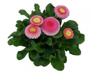 Gänseblümchen großblumig ,  10,5 cm Topf