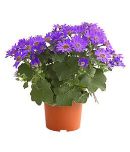 Teneriffa Stern - Aschenblume