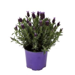 Lavendel Stocheas
