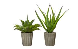 hardi - Topfpflanze Agave in grün, 50 cm