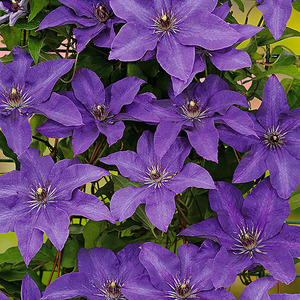 "toom Clematis ""The President"""
