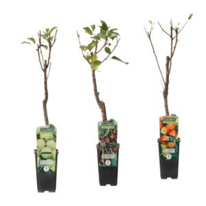 GARDEN FEELINGS     Mini-Obstbaum