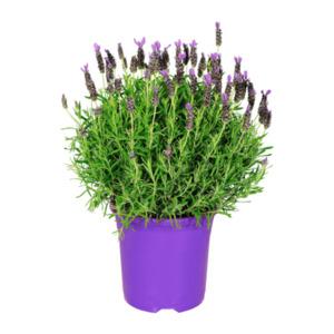 GARDEN FEELINGS     Schopflavendel (Lavendel stoechas)