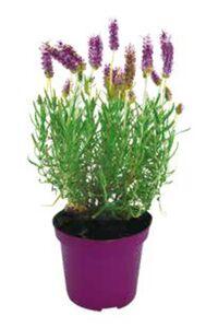 Lavendel oder Nelken