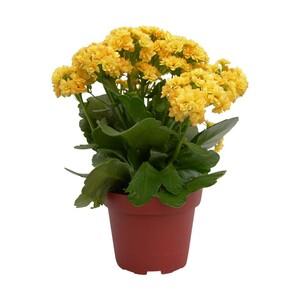 """Blühpflanzen Mix """"Alles in Gelb, versch. Sorten, z.B. Narzissen im Keramikei, Chrysanthemen 14-cm-Topf oder Kalanchoe 12-cm-Topf, Abb. ähnlich,  jeder Topf"""