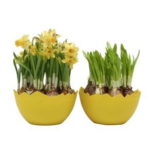 Narzissen, in einer Eierschale bepflanzt,Kunstoffübertopf, Abb. ähnlich, jeder 17-cm-Topf