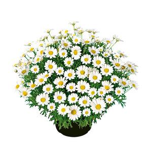 Margeritenbusch weiß, 18 cm Topf