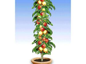 Apfel »Braeburn«, Säulenobst, platzsparend, 200 - 250 cm Wuchshöhe, winterhart, mehrjährig