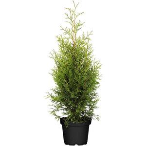 "Lebensbaum ""Brabant"" 100-120 cm, Ballenware"