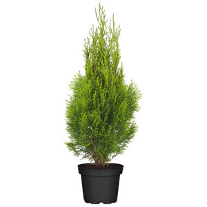"Lebensbaum ""Smaragd"" 100-120 cm, Ballenware"