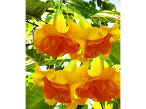 Engelstrompete Sunexplosion,1 Pflanze Brugmansia Datura