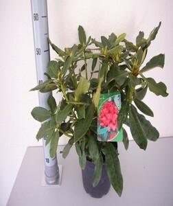 Rhododendron hybriden in Sorten ,  5 l Container