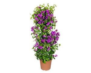 GARDENLINE®  Balkon- und Terrassenpflanzen