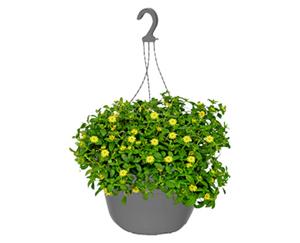 GARDENLINE®  Ampelpflanze, blühend