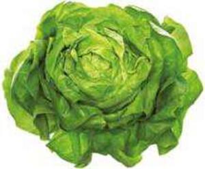 Belgien Kopfsalat