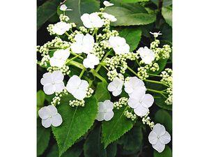 Kletter-Hortensien 'Semiola®', Hydrangea petiolaris, 1 Pflanze