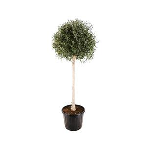 XL Olivenbaum, 180–200 cm