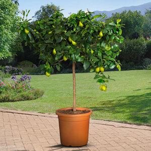 XL Zitronen-Stamm, 140–160 cm