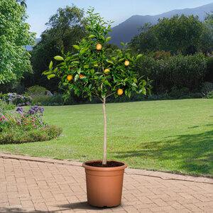 XL Mandarinen-Stamm, 140–160 cm