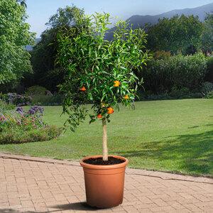 XL Clementinen-Stamm, 140–160 cm