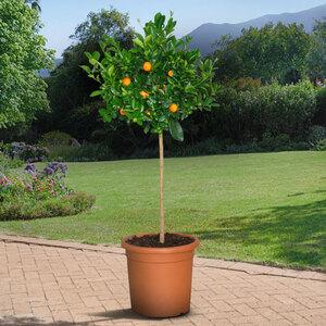 XL Orangen-Stamm, 140–160 cm