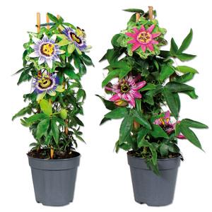 Blühende Passiflora