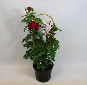 Edle Renaissance Rosen