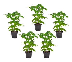 Tomatenpflanzen, 5er-Set