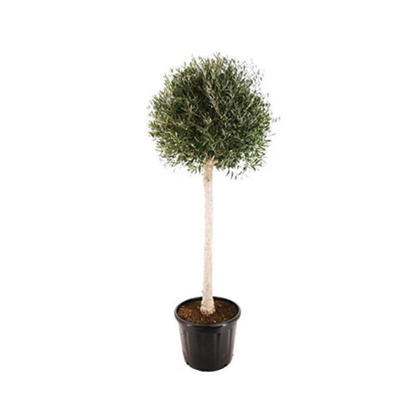 Olivenbaum Gießen