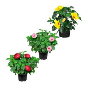 Garden Feelings     Dipladenia / Hibiskus