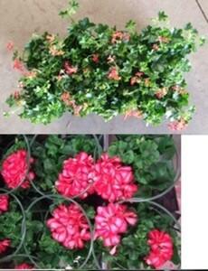 Geranie hängend ,  Pelargonium, 1 l Container