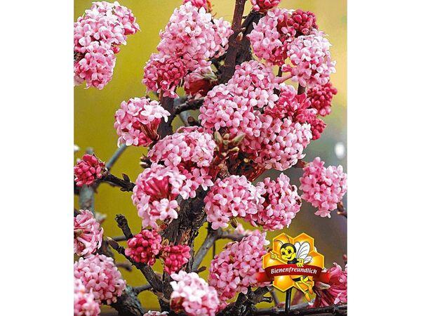 Duft-Schneeball Dawn Viburnum bodnantense Winterschneeball 1 Pflanze
