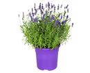 Bild 1 von GARDENLINE®  Lavendel