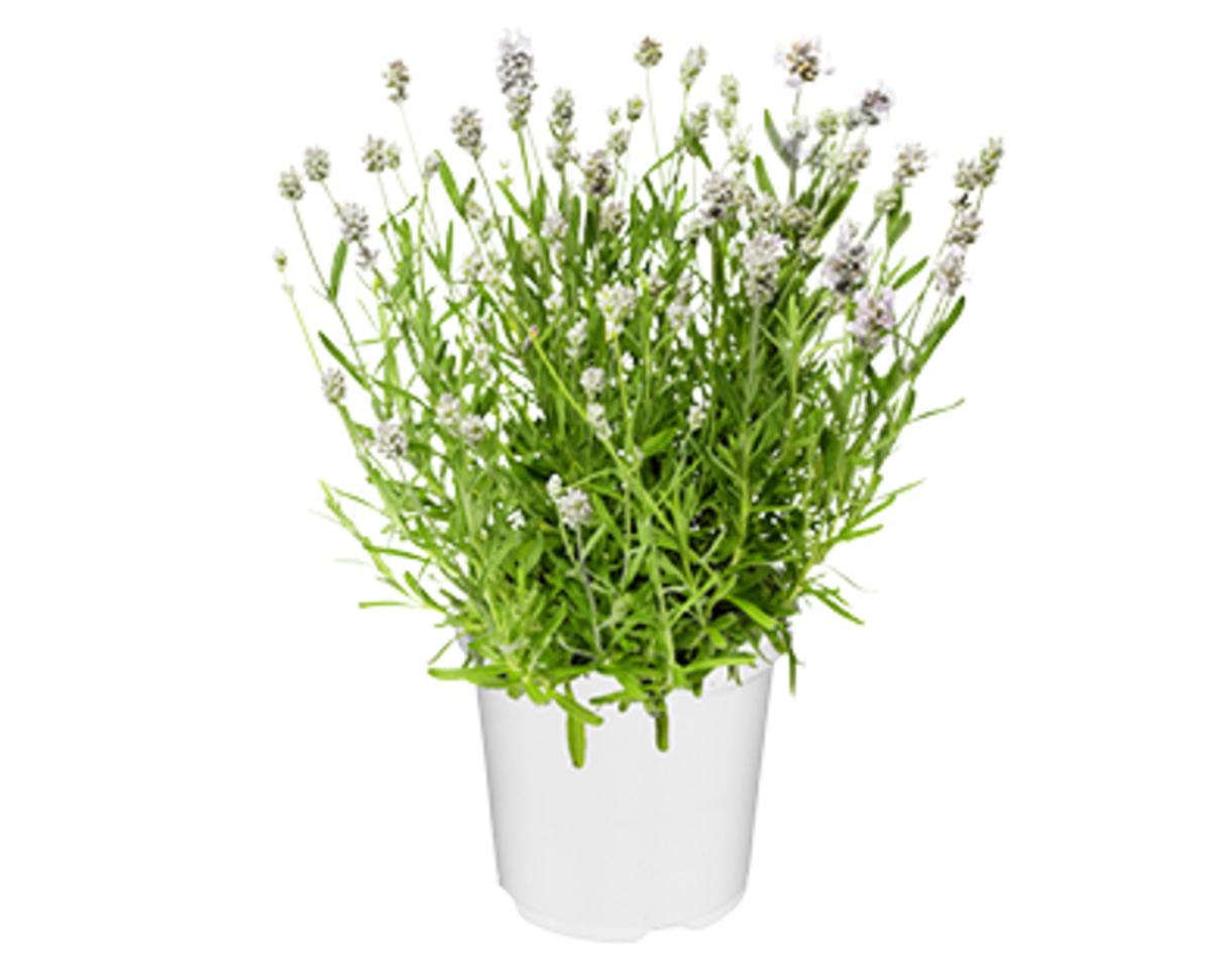 Bild 2 von GARDENLINE®  Lavendel