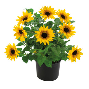 "Sonnenblume ""SUNbelievableTM"""