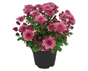 GARDENLINE®  Chrysantheme